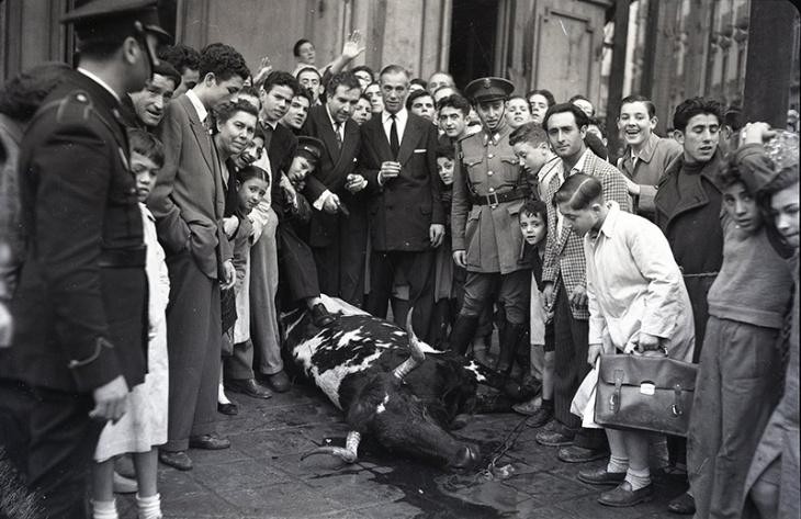 Vaca brava huída por las calles del barrio de Salamanca fotografiada por Campúa el 26 de octubre de 1954