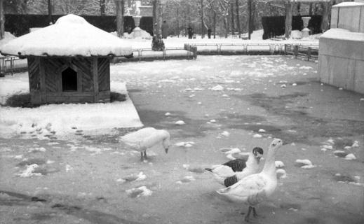 Patos en el parque de El Retiro nevado, fotografiado por Campúa en enero de 1952